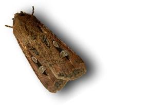 Bogong moth 3